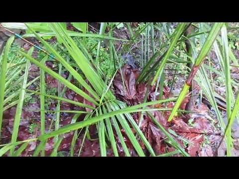 Jubaea chilensis Winter Update / Canada