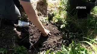 Growing Summer Squash, Celery, And Cilantro - The Wisconsin Vegetable Gardener