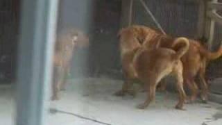 Dogue De Bordeaux Playing