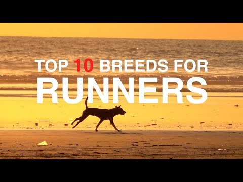 TOP 10 DOG BREED FOR RUNNERS