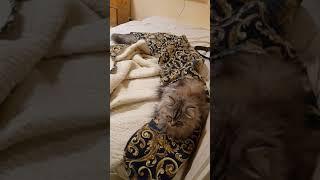 Самый длинный хвост у кошки