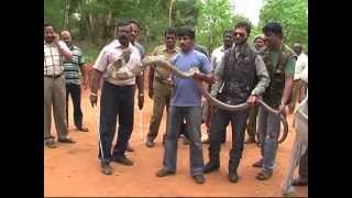 Largest King cobra ever seen in Tamil Nadu [ RED PIX ]