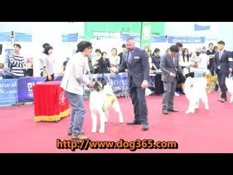 2016.06.19 KKF DOG SHOW - American Akita