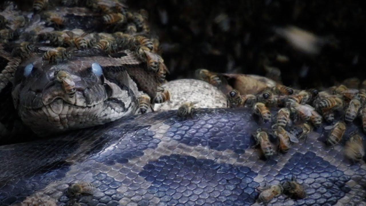 Killer Bees vs Python 05 Mirrored