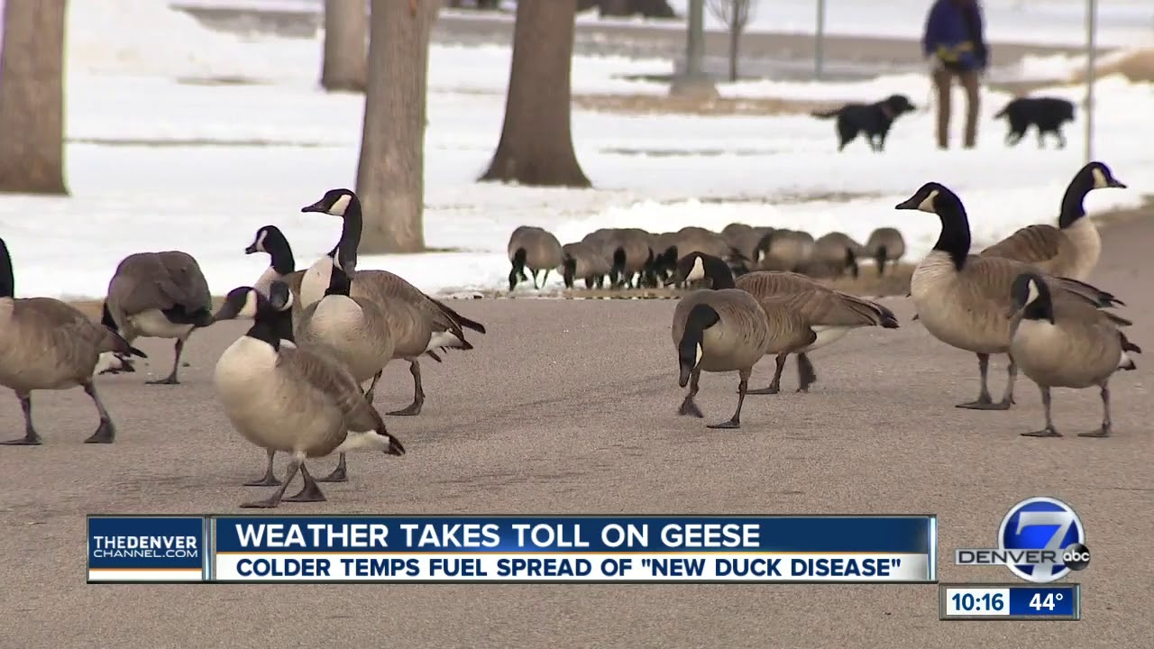 e6376061fe6 'New duck disease' to blame for the deaths of at least 100 geese in the  Denver metro area, CPW says