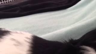 Super Cute Cavalier King Charles Spaniel Snoring.