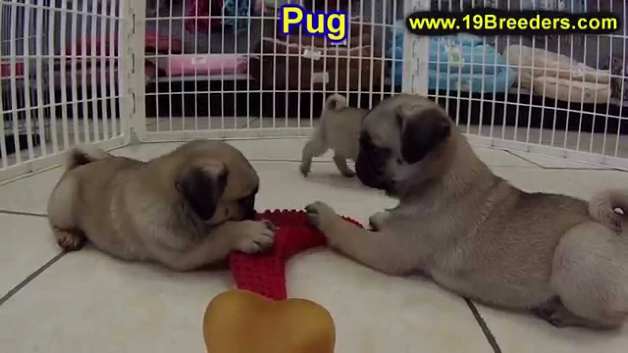 Pug Puppies For Sale In Des Moines Iowa Ia Bettendorf