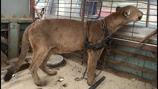 mountain lion chained for 20 years experiences freedom for the first time