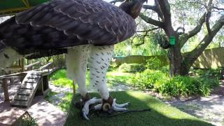 Zoo Spotlight: Martial Eagle