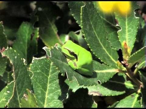 La rainette méridionale (Hyla meridionalis).