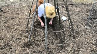 Planting Peas Three Ways On Trellis (featuring Mrs. J!)