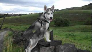 A Husky 8 Week Transformation From 10-18 Week's Old