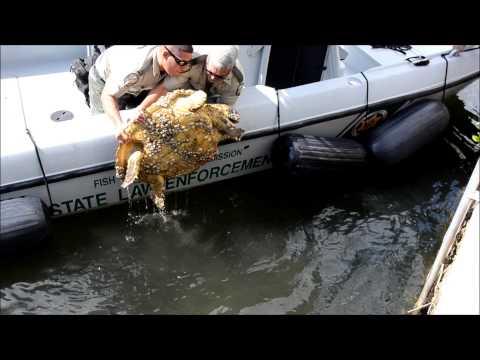 Loggerhead  Sea Turtle Rescue 11-2013