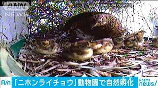 ニホンライチョウ自然孵化 富山の動物園で人工繁殖(19/07/05)