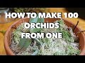 How To Make 100 Orchids From One Without Keiki Paste mp3