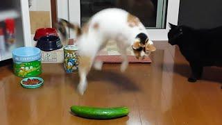 СМЕШНЫЕ КОТЫ -  коты пугаются огурцов и подскакивают)))