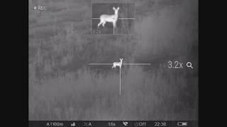 Охота на самца косули с тепловизором Pulsar Trail XP50