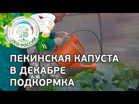 🥬 Выращиваем пекинскую капусту через семена осенью. Как получить урожай пекинской капусты в декабре