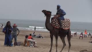 Верблюд на пляже Агадир.Животные, животный мир, Аnimals,Tiere
