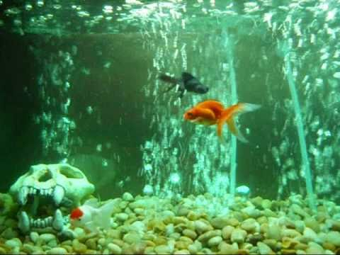 ich - my 20 gallon freshwater goldfish aquarium - YouTubeFresh Water Aquarium Gold Fish Images