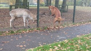 funny boxer dog attacks playing with deer animal