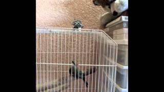 センコとオリーブタイランチョウ若鳥の対決