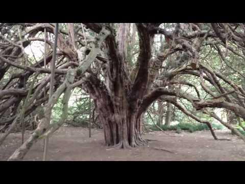 The ancient yew near Ormiston.