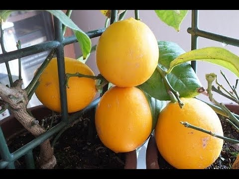 лимоны в домашних условиях выращивание