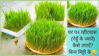 """घर प२-""""बिना मिट्टी"""" के गेहुँ की घास(व्हीटग्रास) कैसे उगाएँ।Grow WheatGrass Soil less at Home Easily """