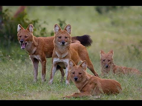 Wild Dogs of India | Indian Red Dogs (The dhole) | BR HILLS | Karnataka