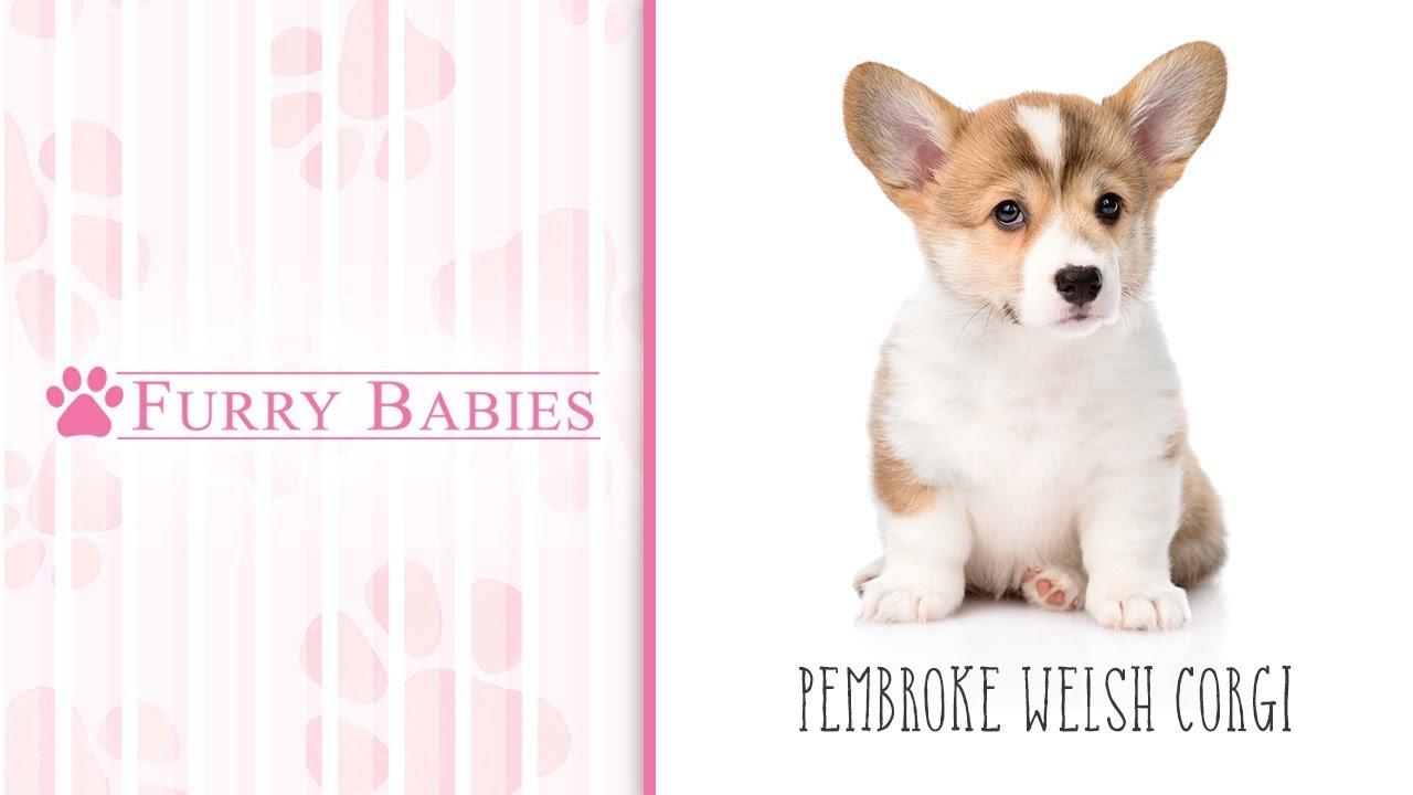 Pembroke Welsh Corgi Puppies - FurryBabies