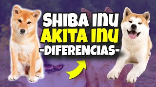 Shiba Inu vs Akita Inu ¿CUALES Son Las DIFERENCIAS?