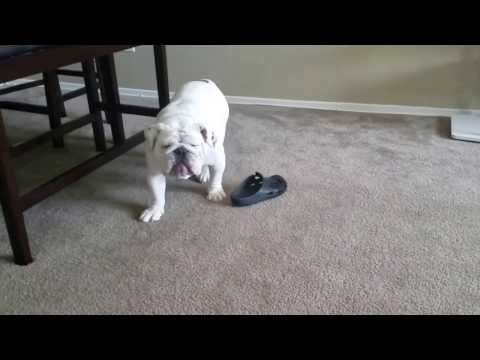 The Best Chew Toy For An English Bulldog