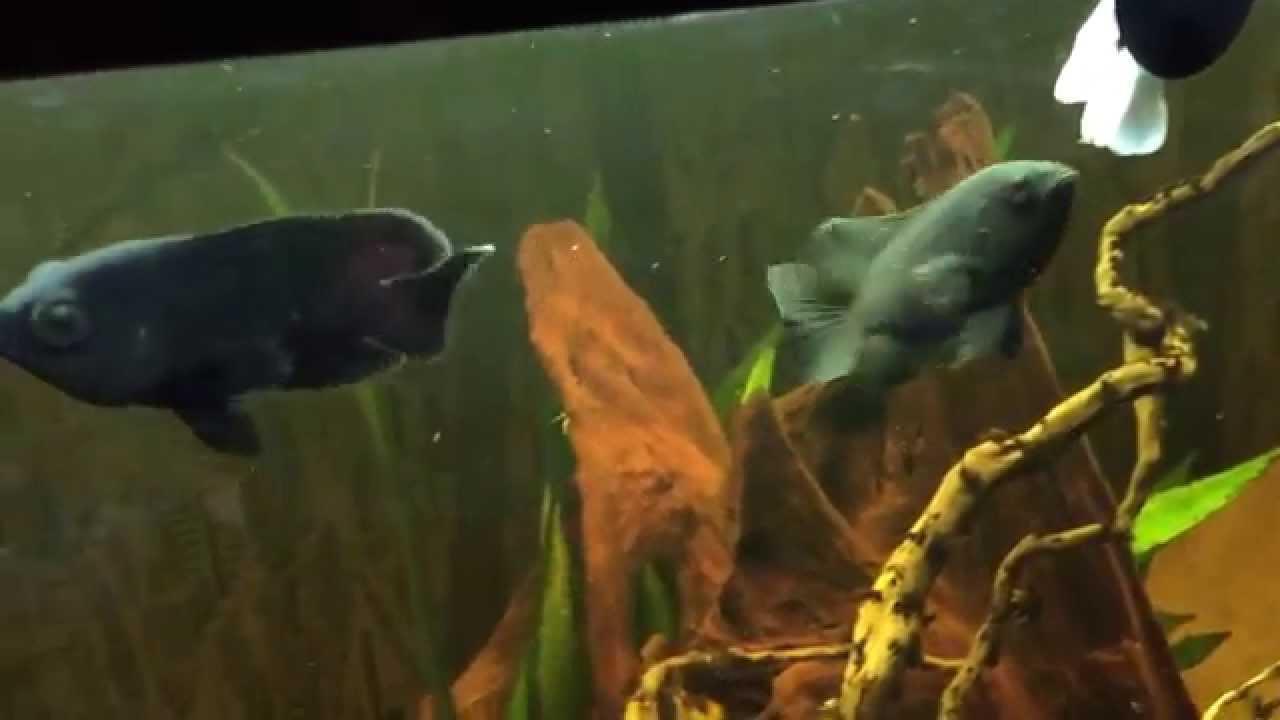 Tiger Oscar Fish Juwel Rio 400 South American Amazon Biotope