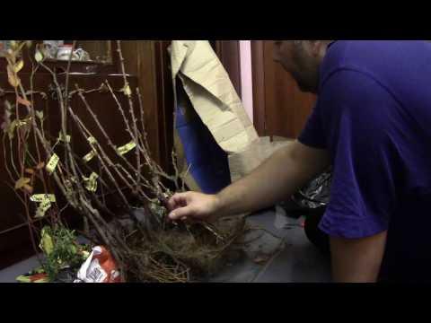 Жимолость Нимфа - Жимолость - Плодовые деревья - Каталог