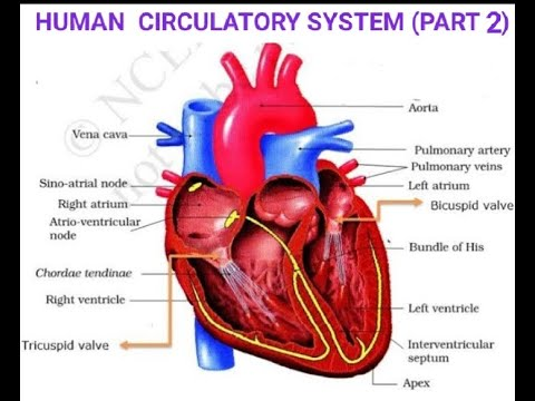 FLOW CHART SHOWING BLOOD CIRCULATION IN HEART / CBSE ...