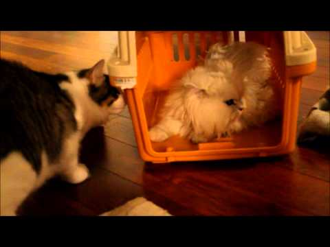 Tabby Cat meets Persian Cat for the first time!