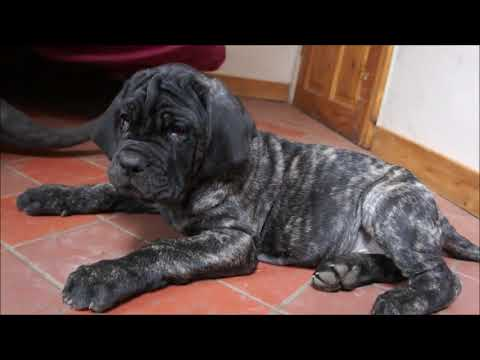 Neapolitan Mastiff Puppies Back at home with Boo