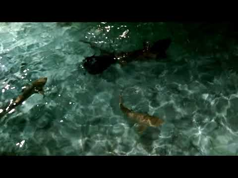 Shark feeding at Sun island resort Maldives
