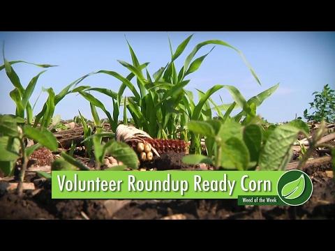 Weed of the Week #1000 Volunteer Roundup Ready Corn (Air Date 6-4-17)