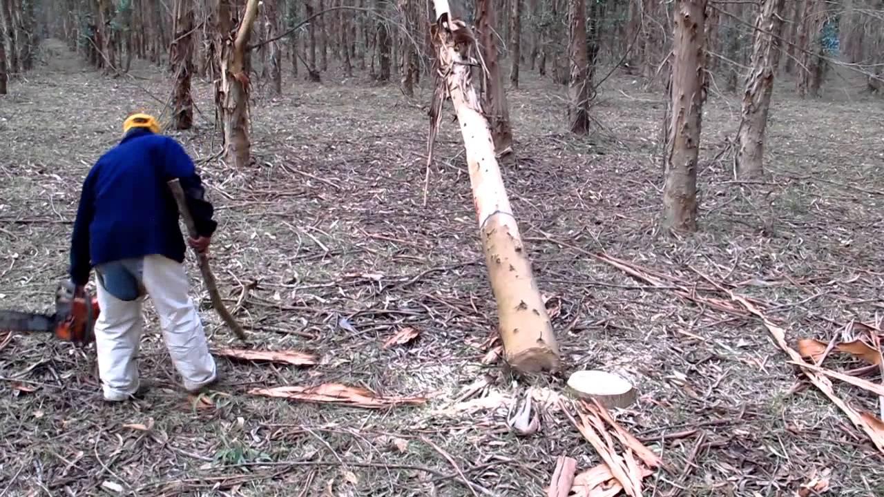 Motosierrista Cuelga Un Eucalyptus Grandis Hill Ex Maiden