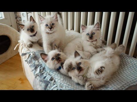 😺 Unsere süßen Heilige Birma Kitten Samira, Lounis, Shina ,Nia & Fly 🍪
