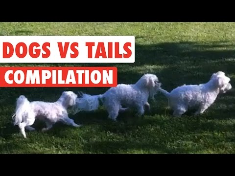Dogs Vs Tails Video Compilation 2017
