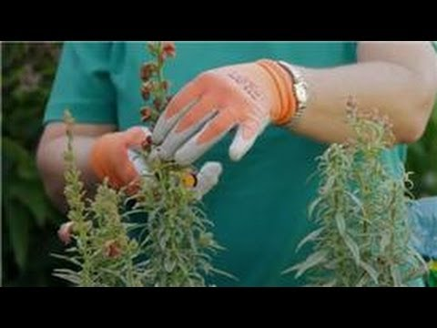 Garden Tips : How Do I Take Care of Snapdragon Flowers?