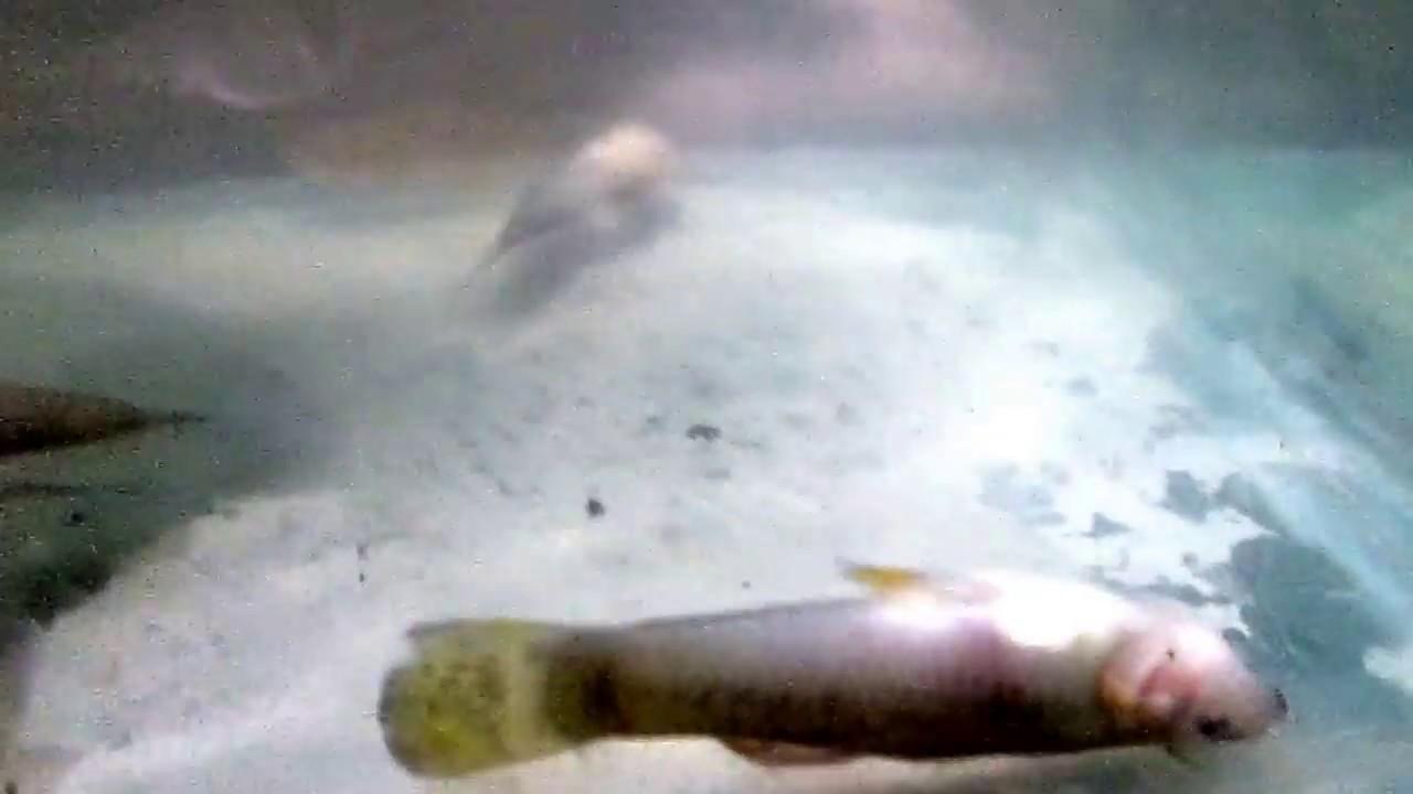 Bad Effect Of Herbiside Roundup Ultra Max Ii To Gatul Fish