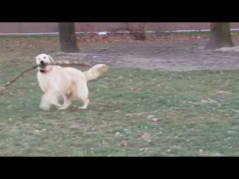 Golden retriever Vera  - Dog Dance :-)