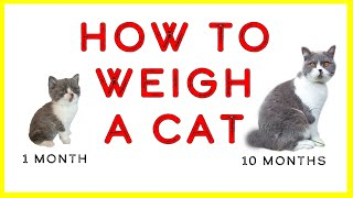 How to weigh a cat | With a bicolor British shorthair