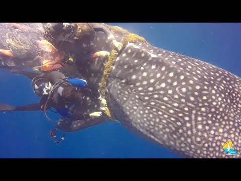 Brave Divers Rescued Whale Shark