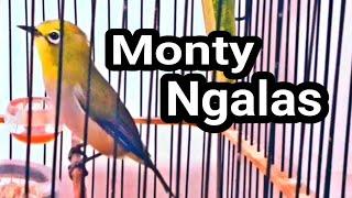 Download Lagu MONTY NGALAS, TERAPI PLECI MONTY NGALAS STANDAR mp3