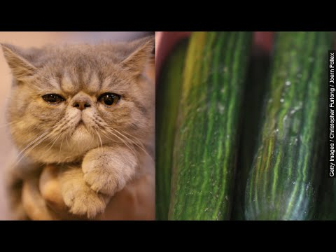 Cats Vs. Cucumbers: Why Are Felines So Scared Of Produce? - Newsy